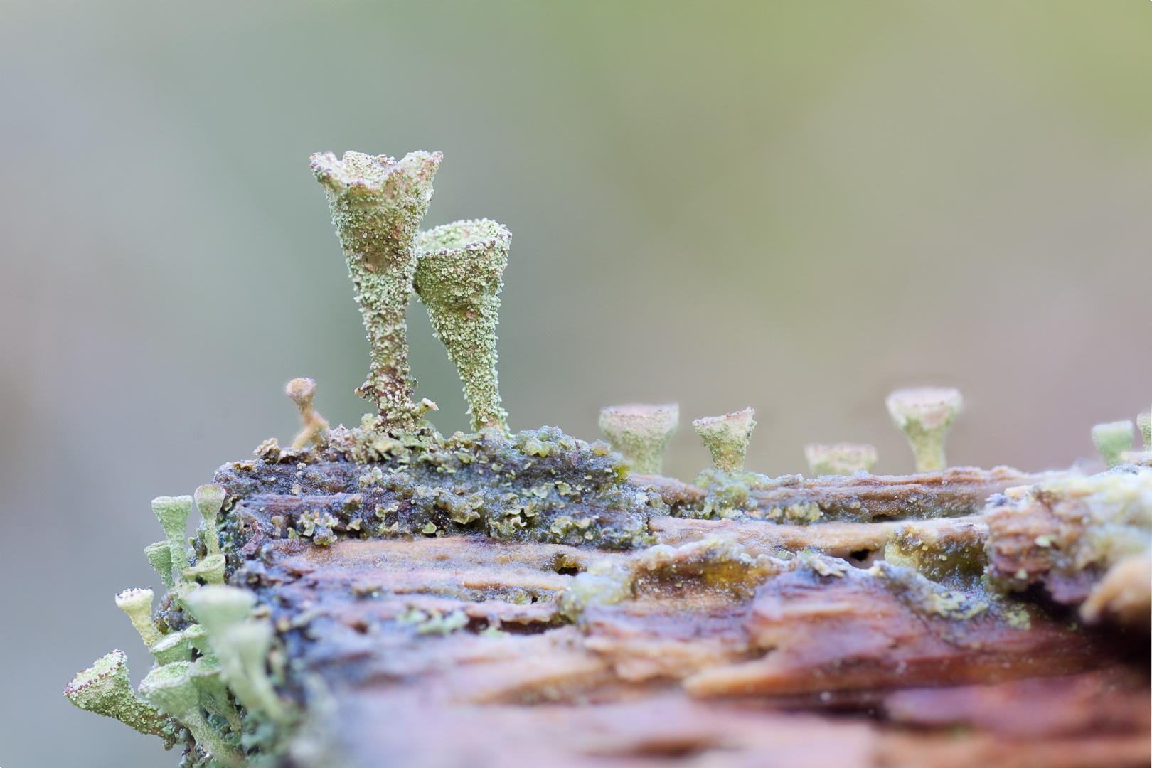 Cladonia Fimbriata, lichen, bekertjesmos
