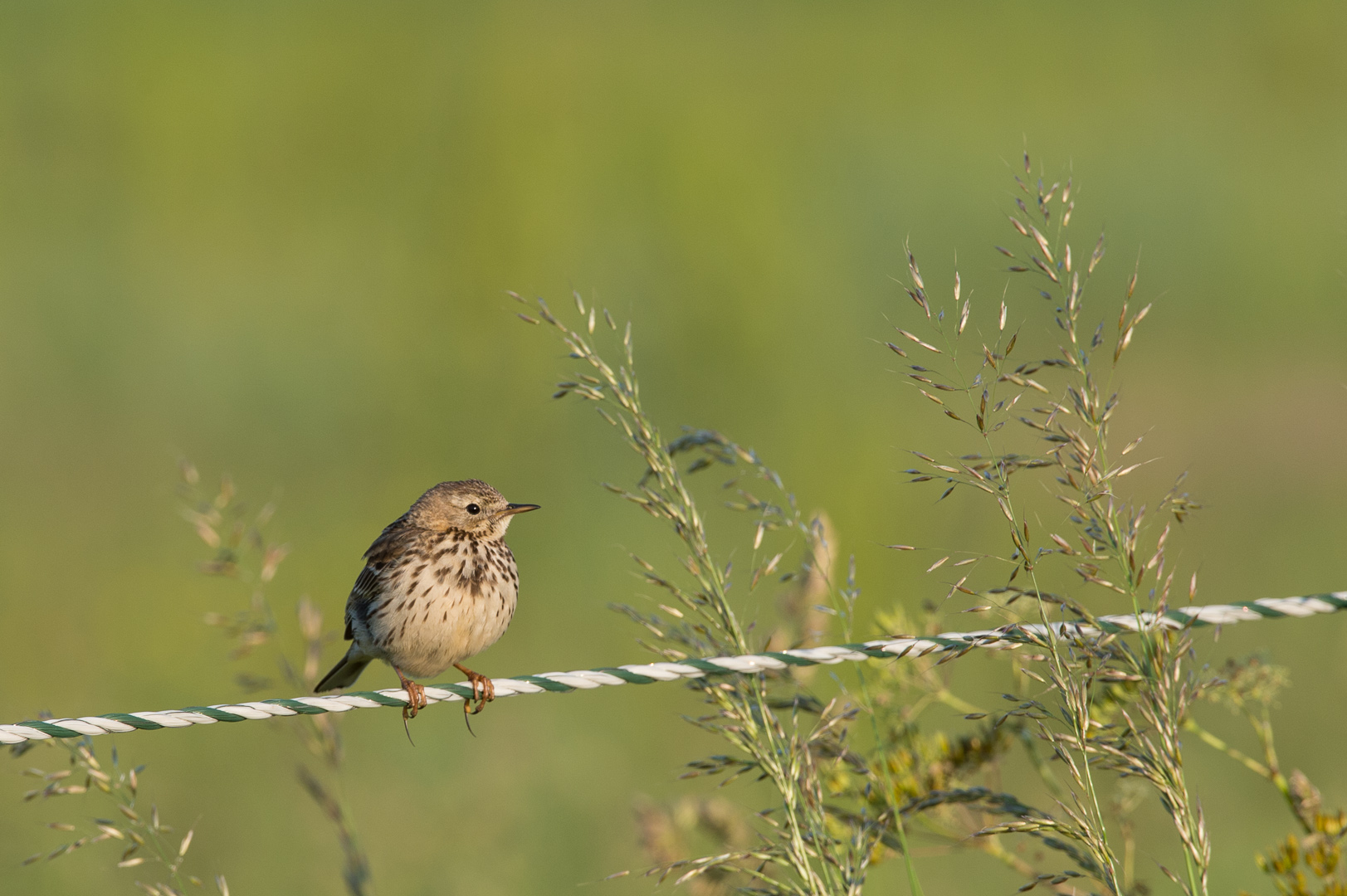 Anthus pratensis, Meadow pipit, graspieper