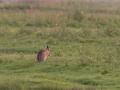 Lepus europaeus, European hare, haas