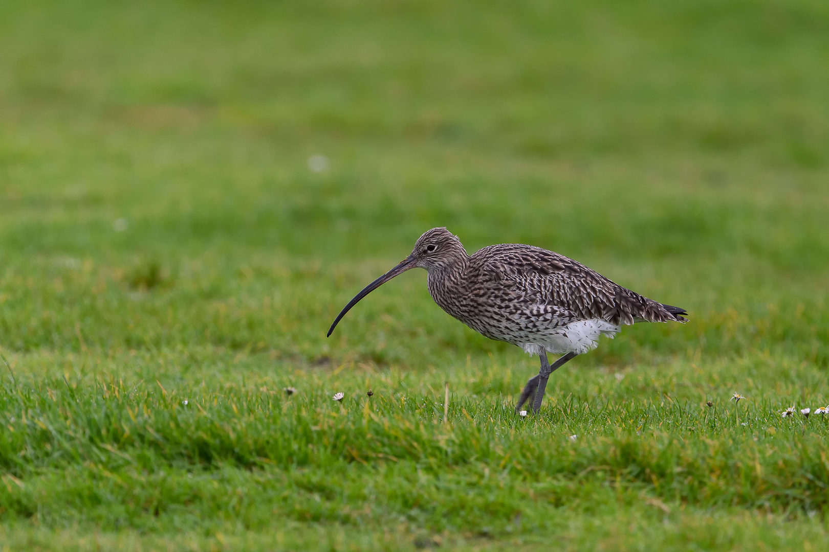 common curlew