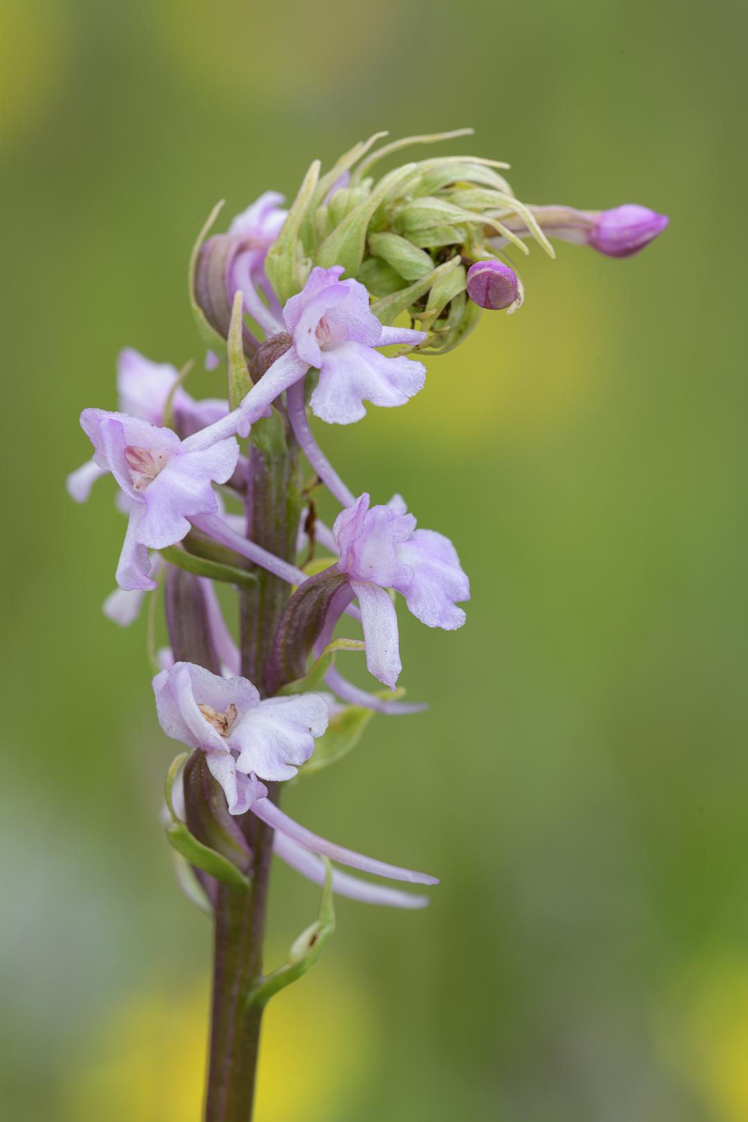 Gymnadenia (Grote muggenorchis)